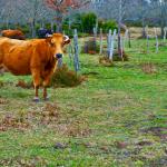 Koldioxidbelastningen av lokalproducerat naturbeteskött är nästan noll