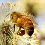 Bisamhällena blir färre – 70% av allt vi äter är pollinerat av insekter