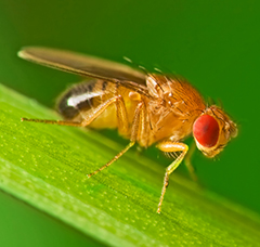 fruktfluga-DNA